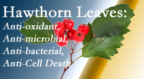 Wilson Family Chiropractic presents new research regarding the flavonoids of the hawthorn tree leaves' extract that are antioxidant, antibacterial, antimicrobial and anti-cell death.
